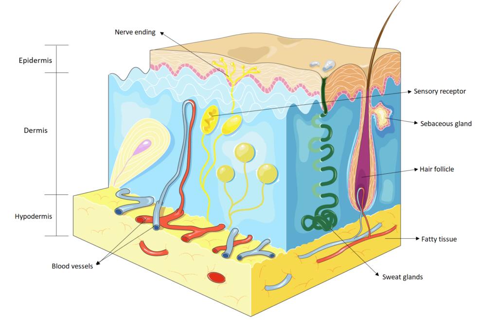 Graphic of skin layers: epidermis, dermis, hypodermis